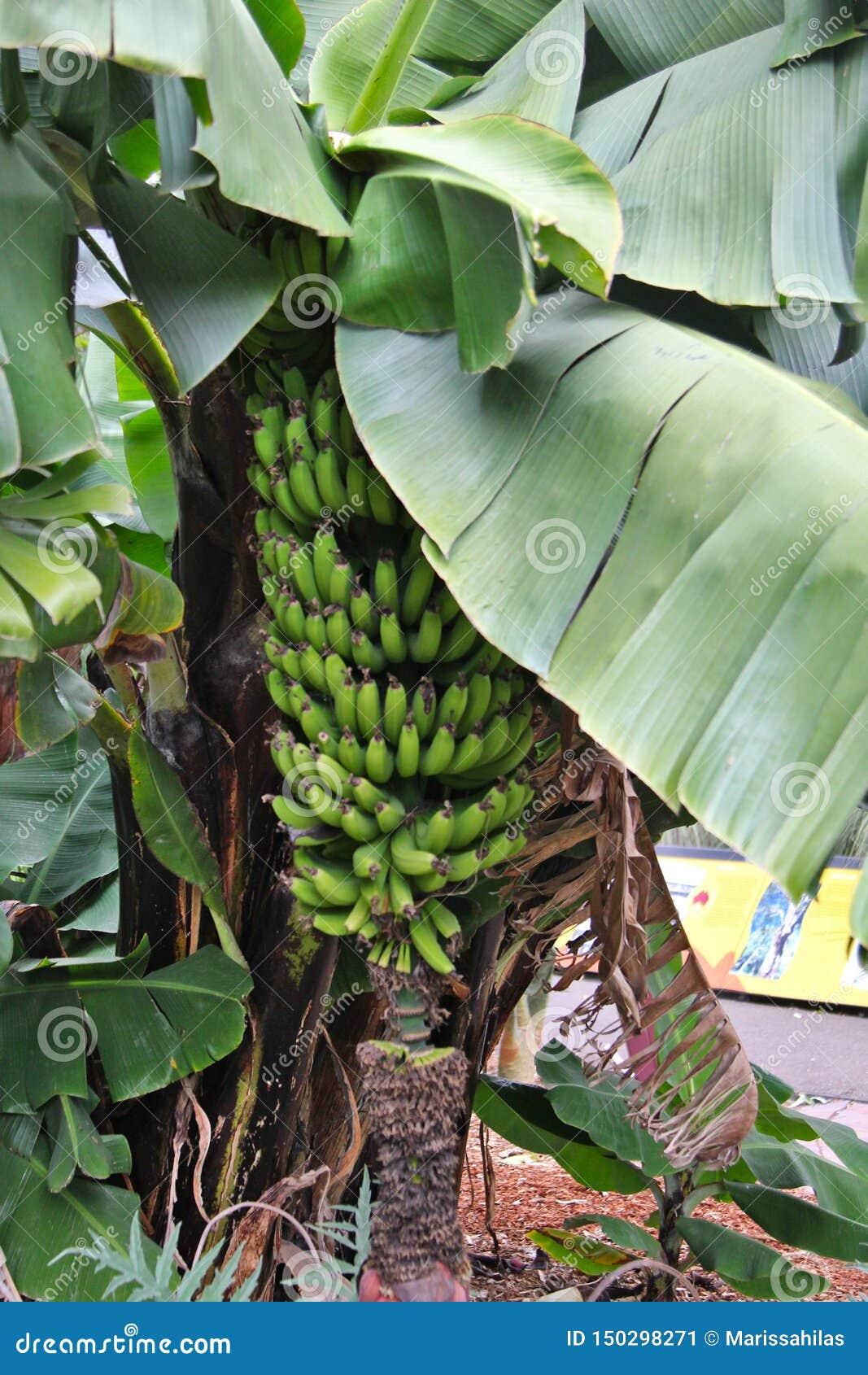Come Coltivare Un Banano banane che crescono su un banano immagine stock - immagine