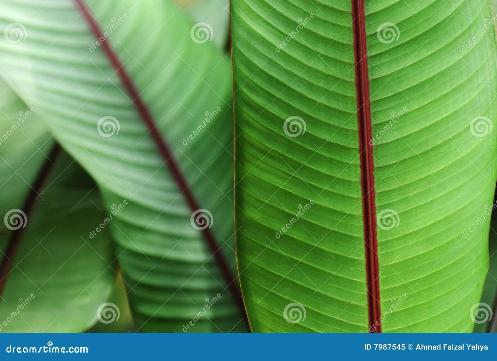 Banane de sang de plante ornementale photo libre de droits for Plante ornementale