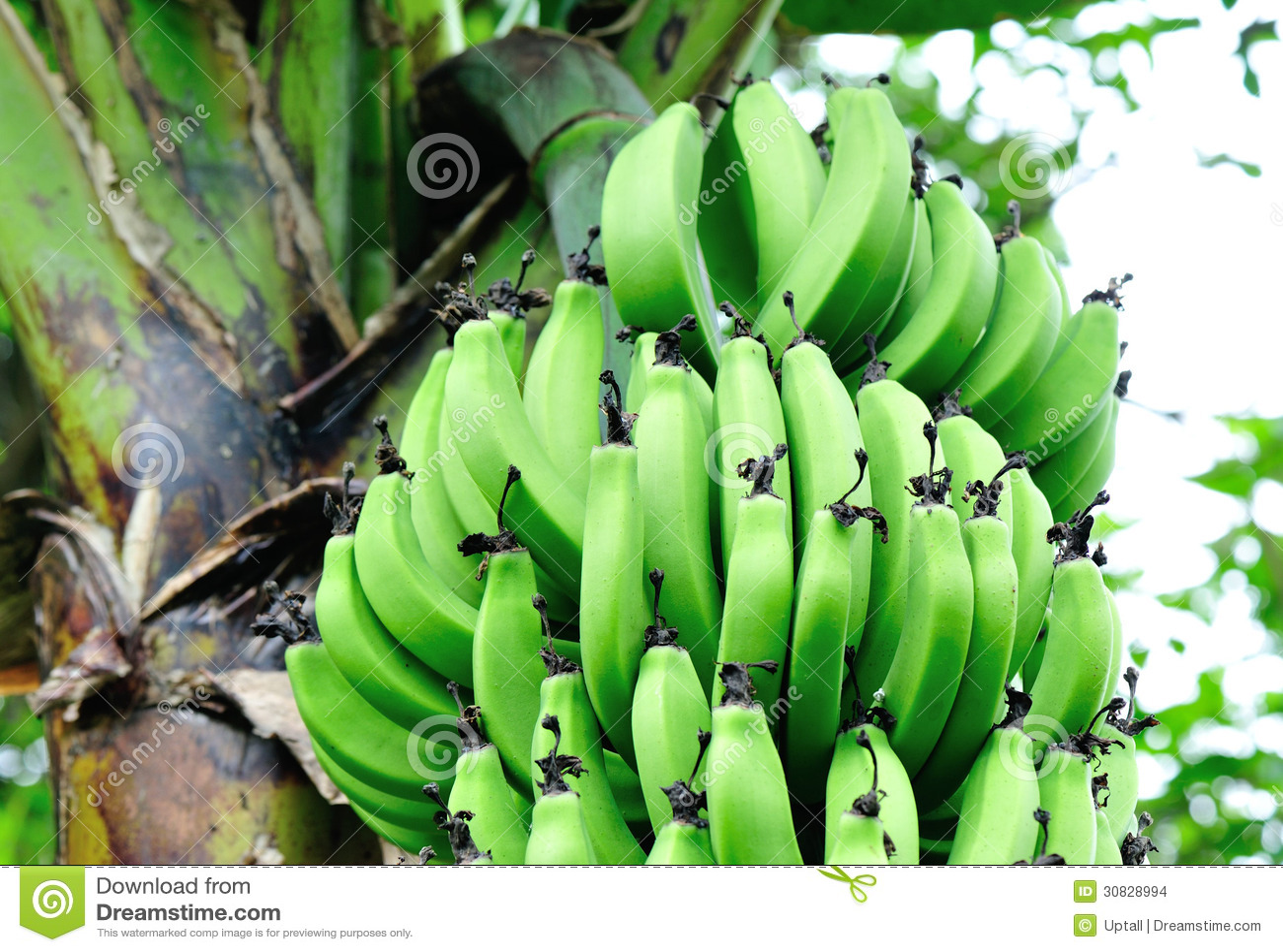 Banane sull albero