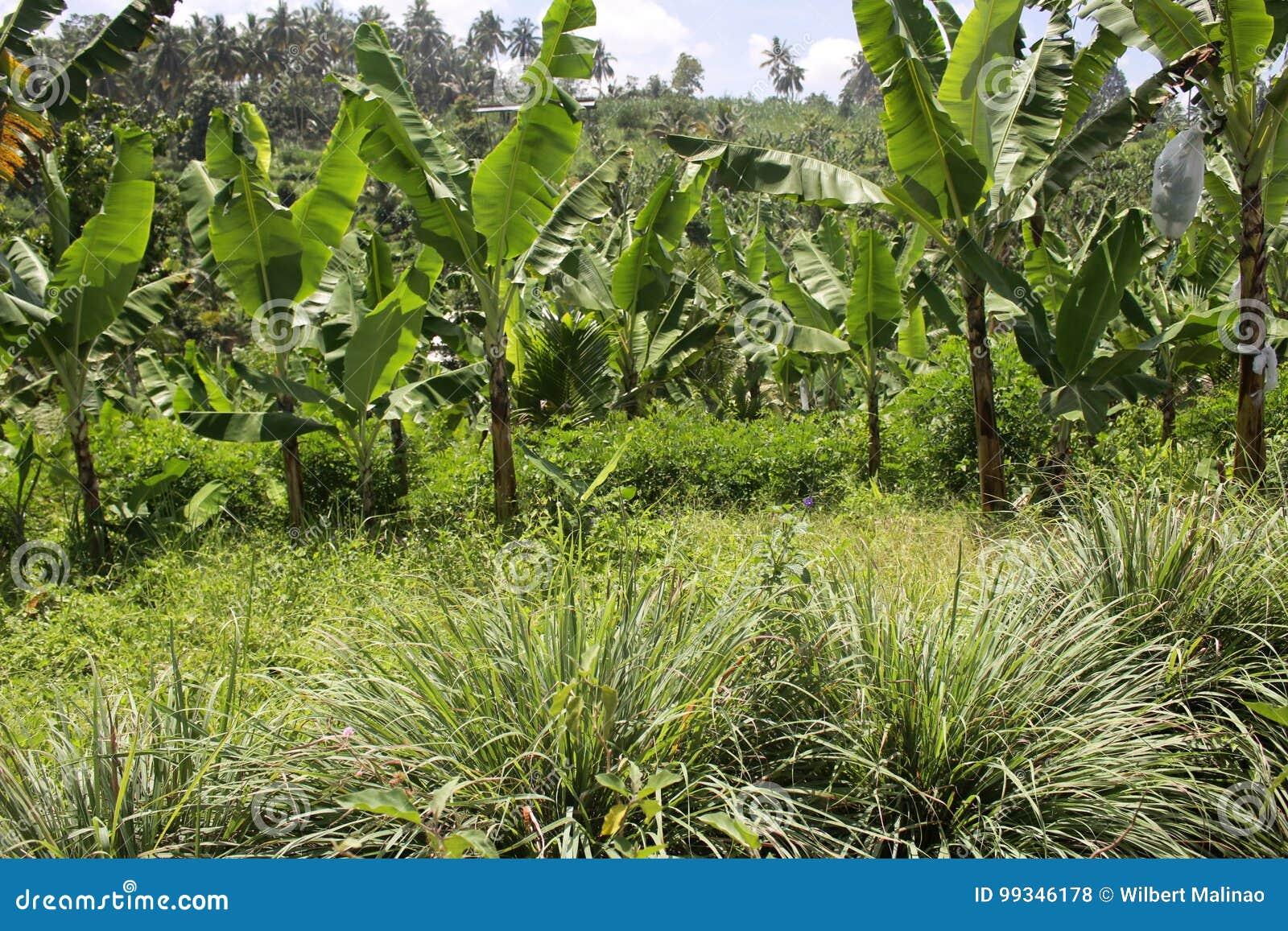 Bananen in den Hochländern undercropped durch Zitronengräser
