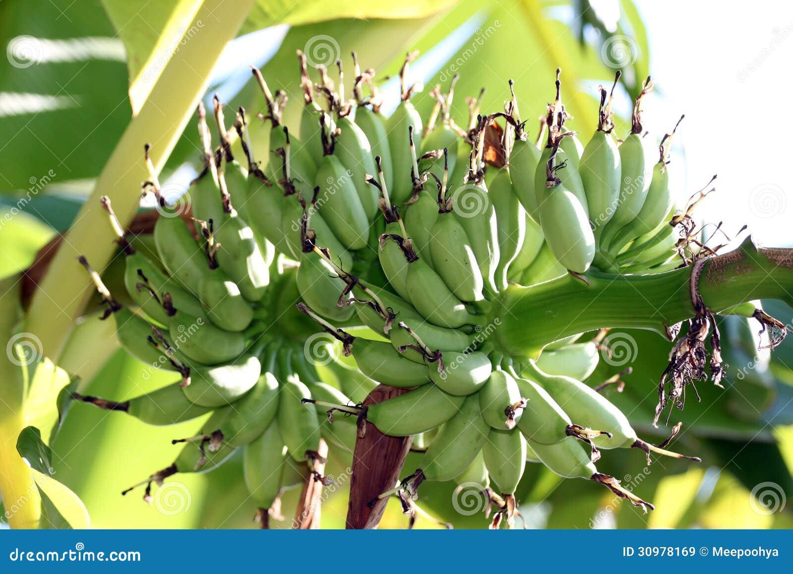 bananen sind eine frucht aber ein nicht reif lizenzfreie stockbilder bild 30978169. Black Bedroom Furniture Sets. Home Design Ideas