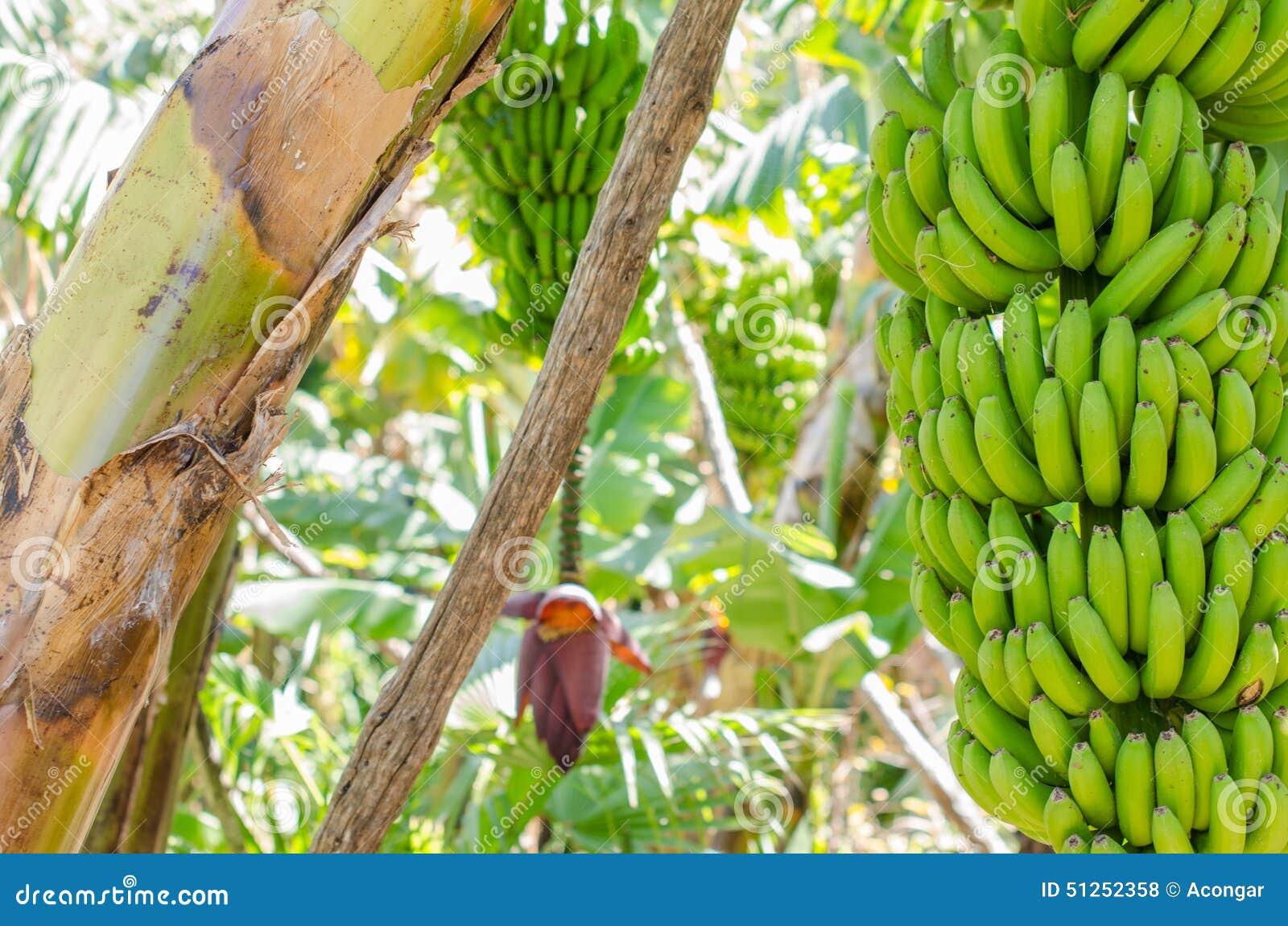 bananenbaum mit einem b ndel bananen stockfoto bild 51252358. Black Bedroom Furniture Sets. Home Design Ideas