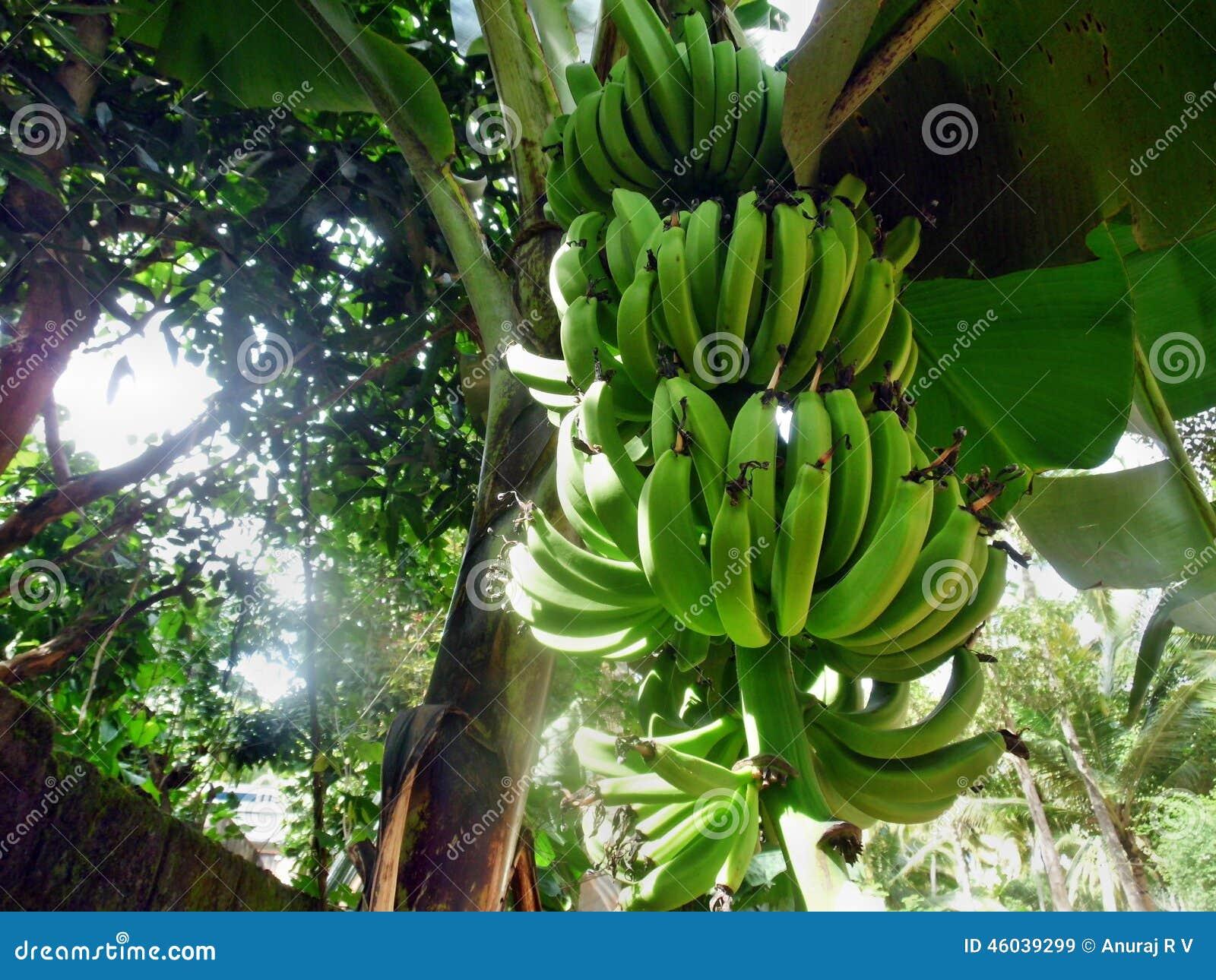 bananenbaum mit frucht stockbild bild von masse ernte 46039299. Black Bedroom Furniture Sets. Home Design Ideas