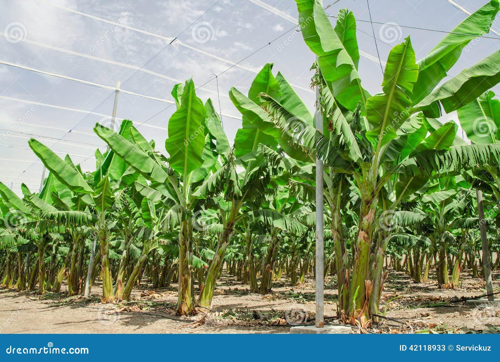 bananenpalmen rudert auf bebautem fruchtobstgarten. Black Bedroom Furniture Sets. Home Design Ideas