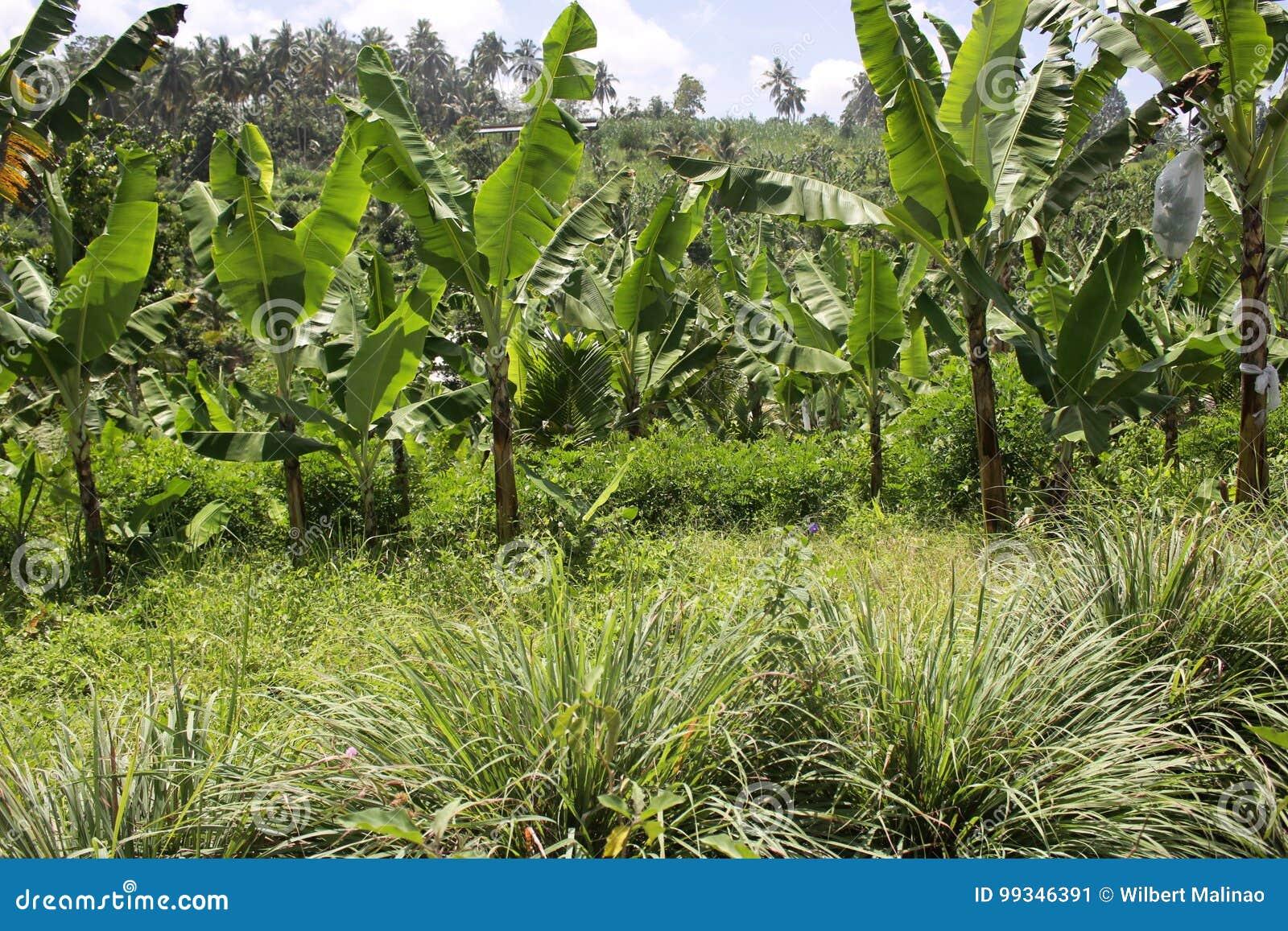 Bananer i högländerna undercropped vid citrongräs