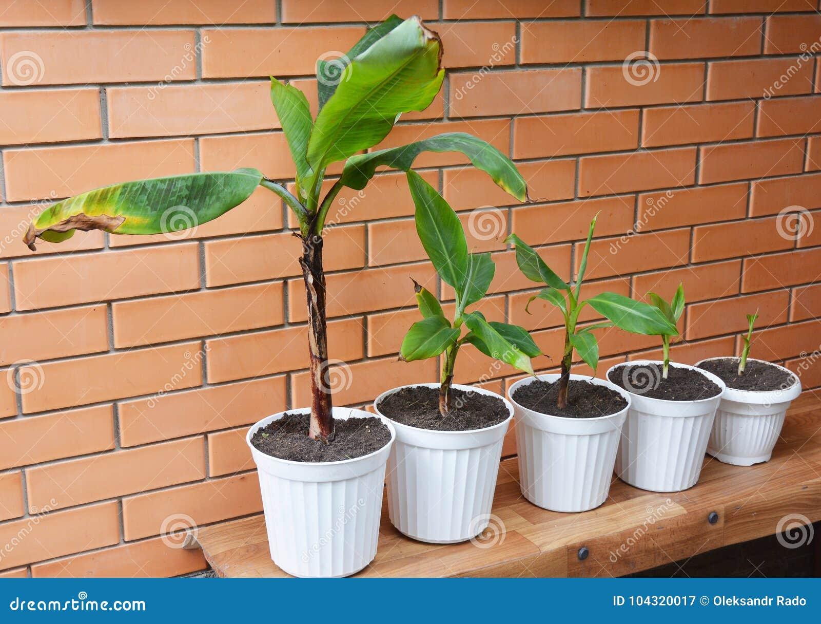 bananes grandissantes - comment cultiver des bananiers fleurs de
