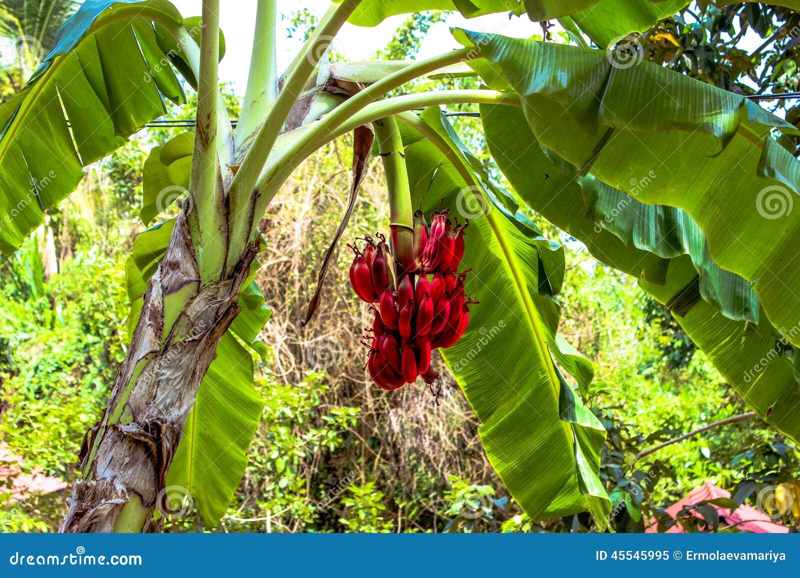 bananier avec un groupe de bananes rouges image stock - image du