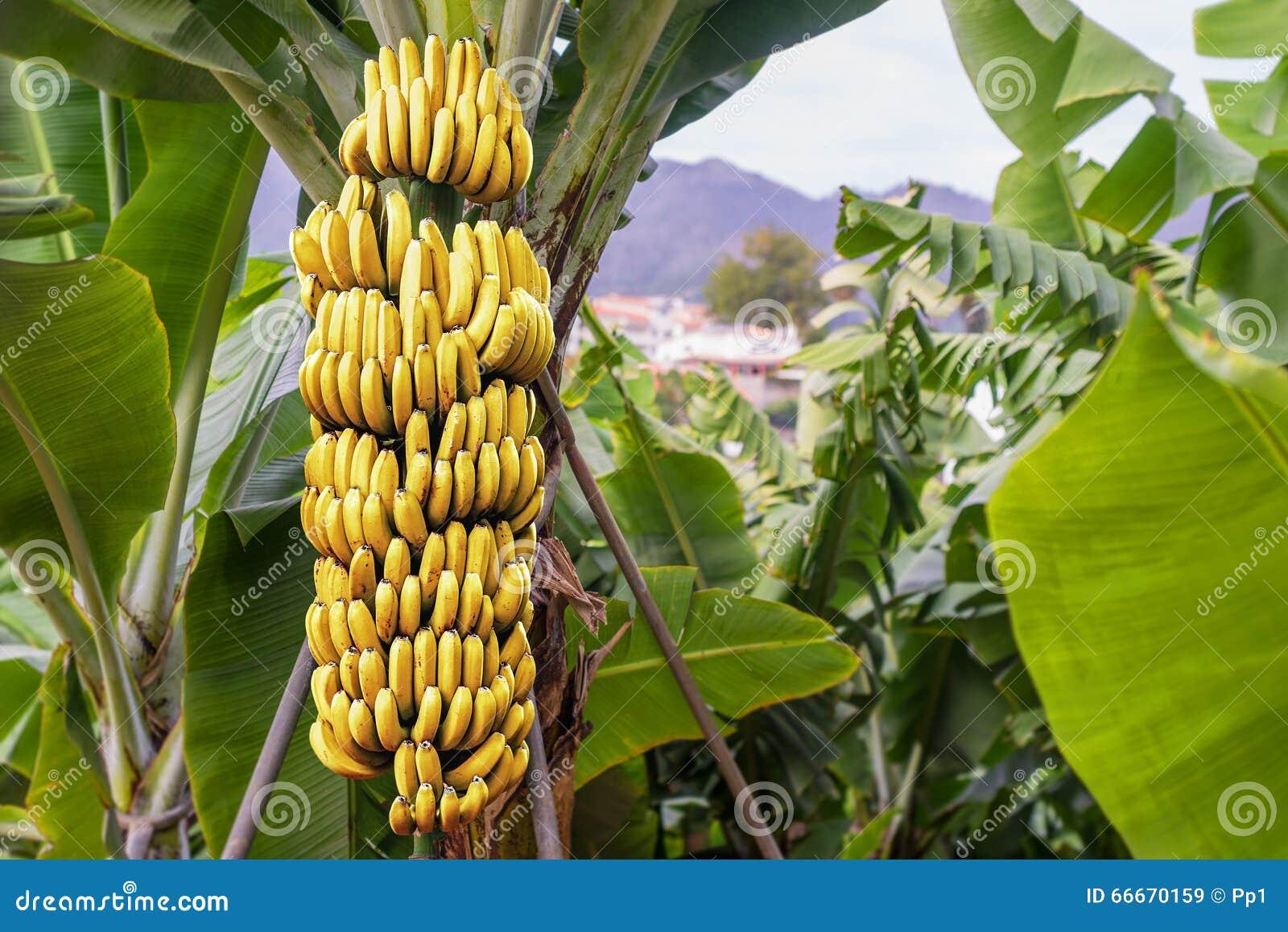 Come Coltivare Un Banano banano con un mazzo di banane mature immagine stock