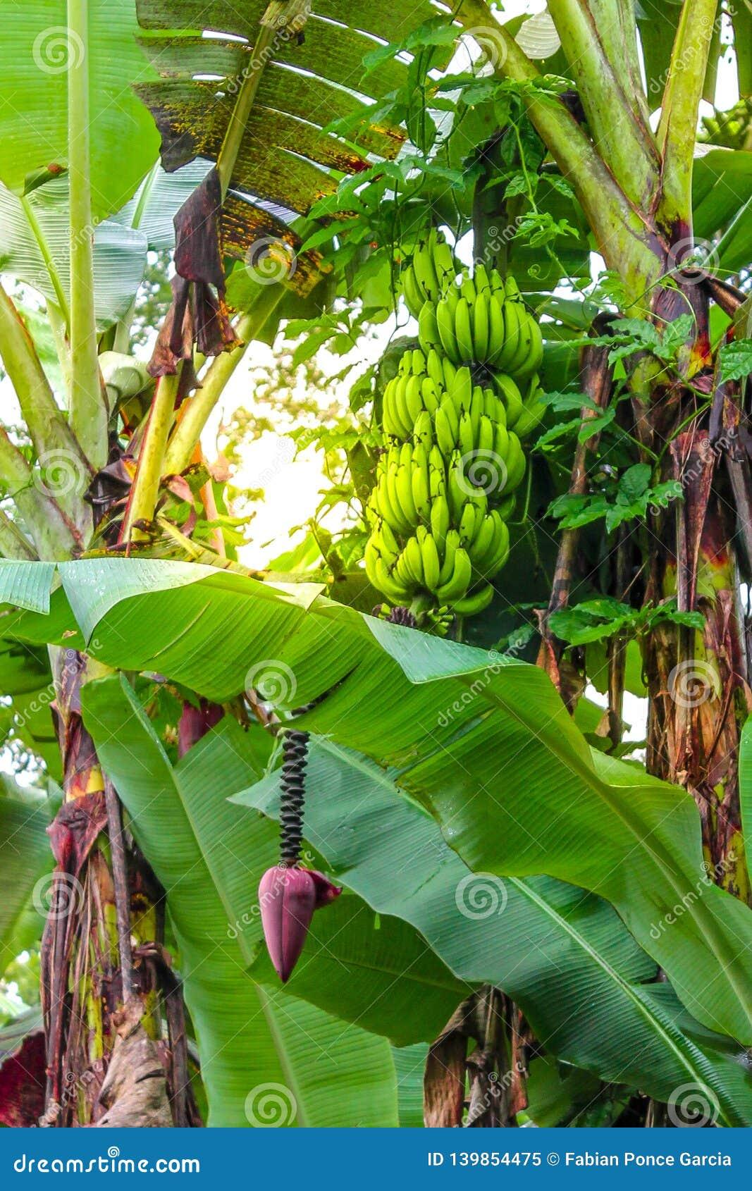 Bananowa roślina z wiązką i kwiatem