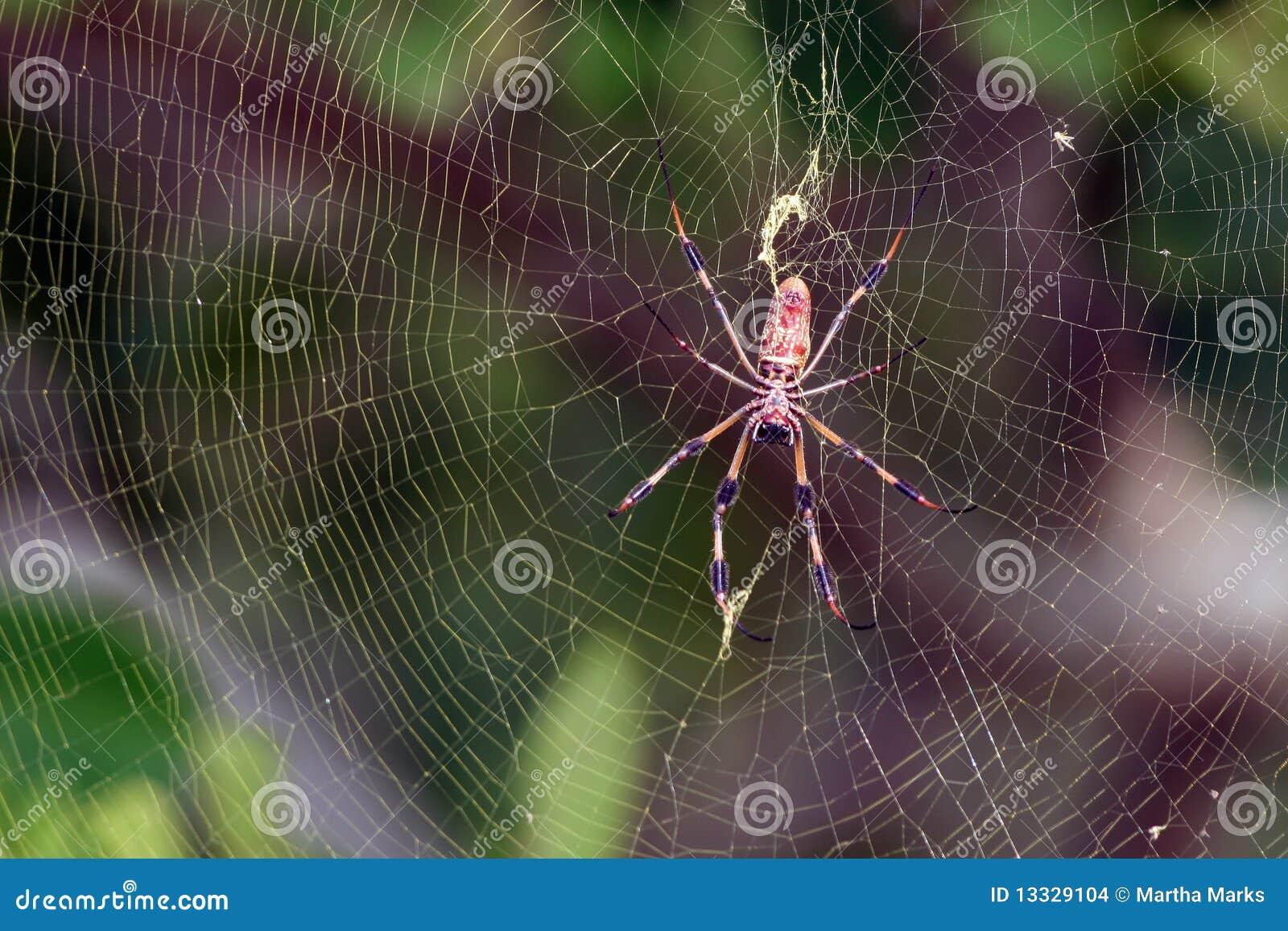 Bananowego clav złoty nephila jedwabiu pająk