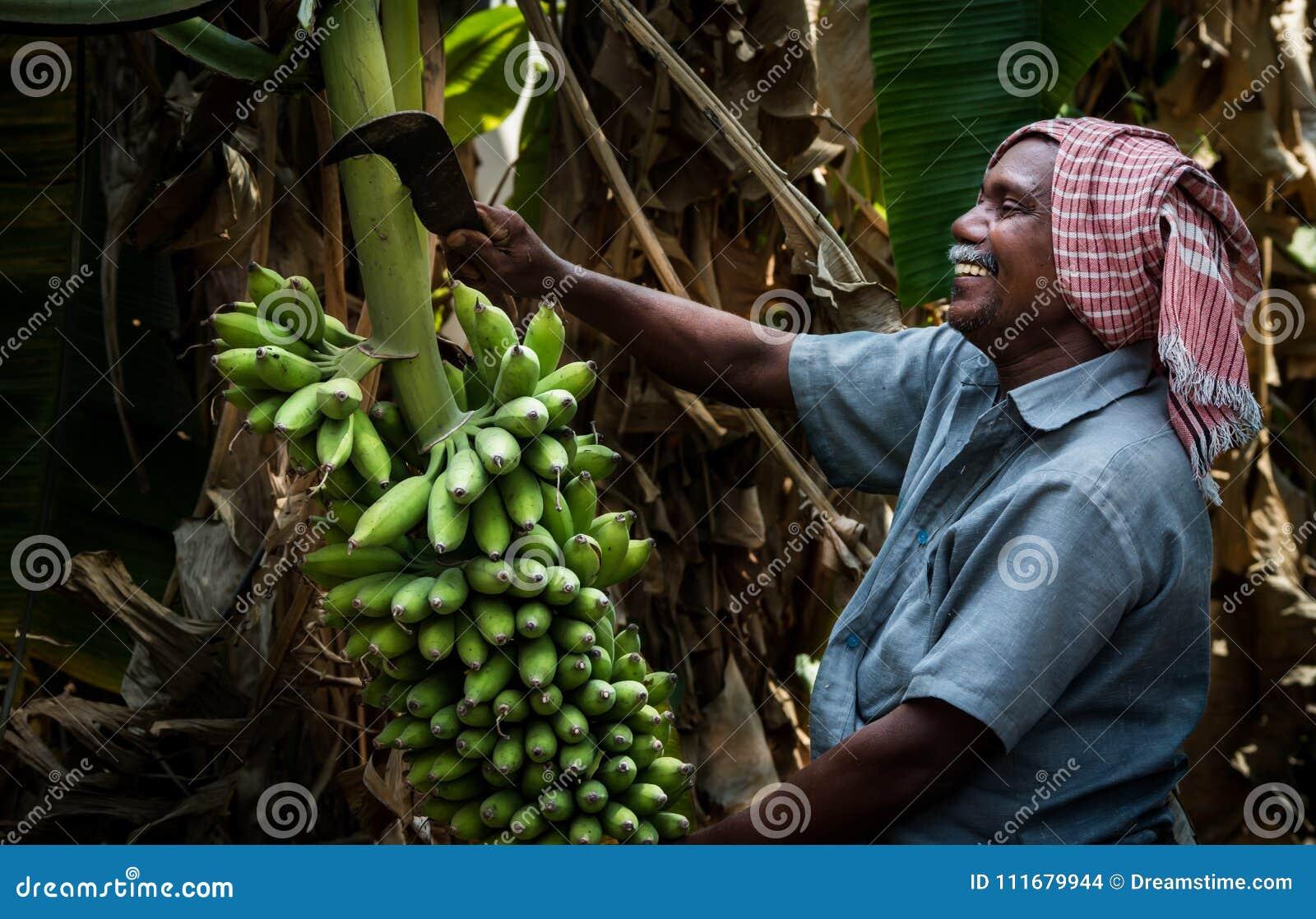 Bananowego drzewa rolnictwo w Kerala