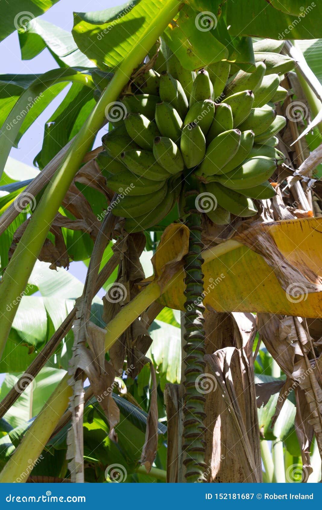 Banany drzewni