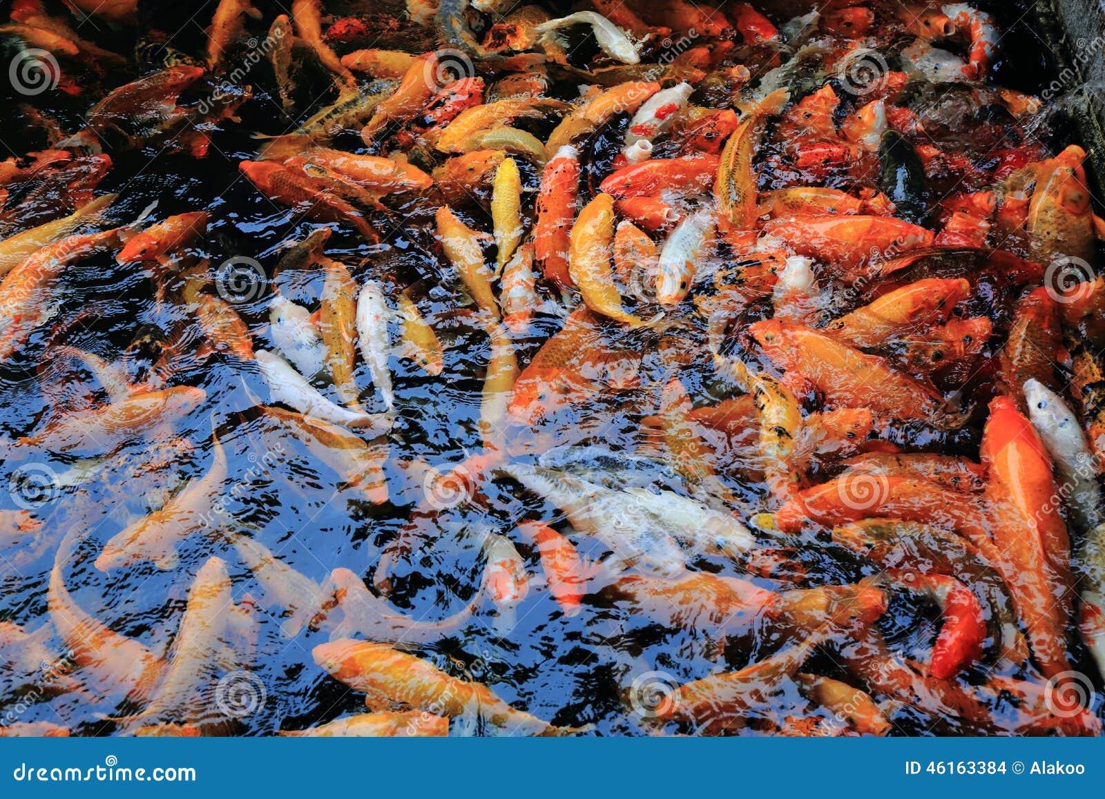 Banc de la natation de poisson rouge sous la surface de l for L alimentation du poisson rouge
