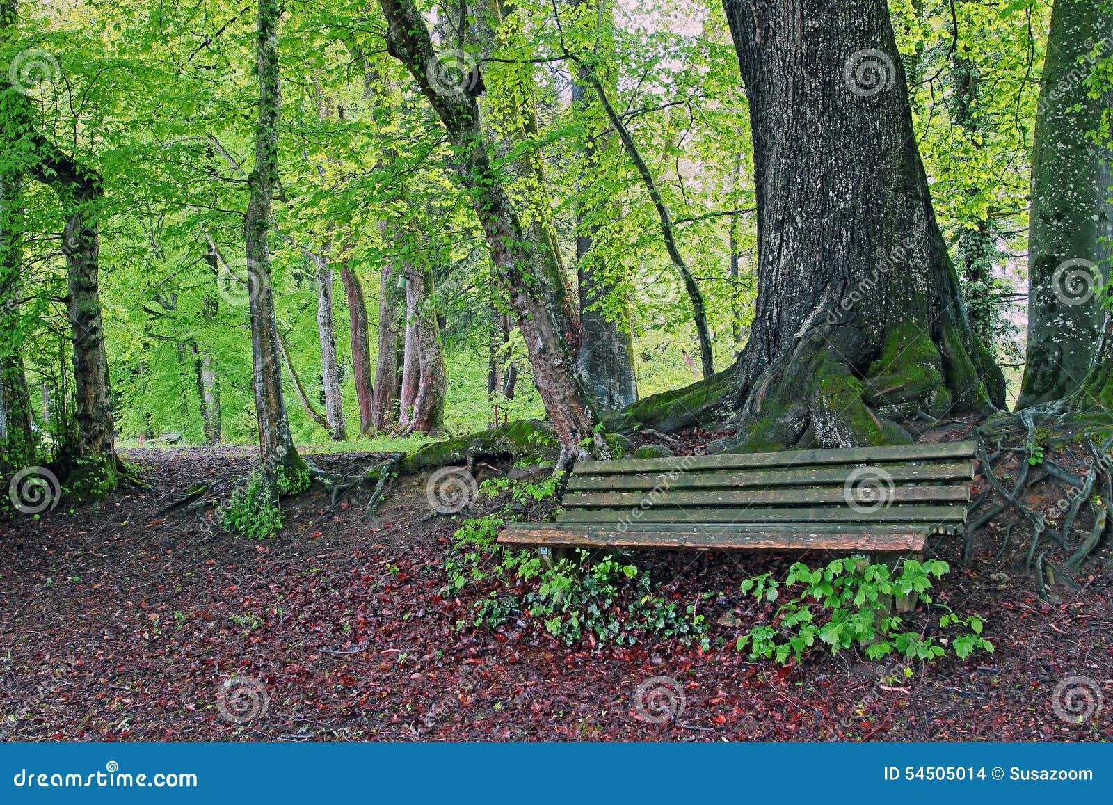Banc rustique dans la forêt de hêtre