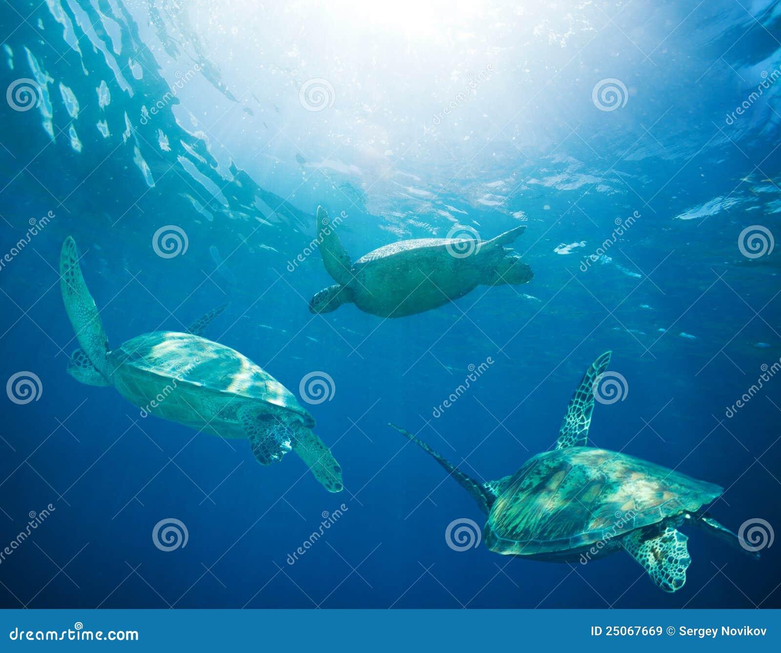 Banco delle tartarughe di mare che migrano immagine stock for Tartarughe di mare domestiche
