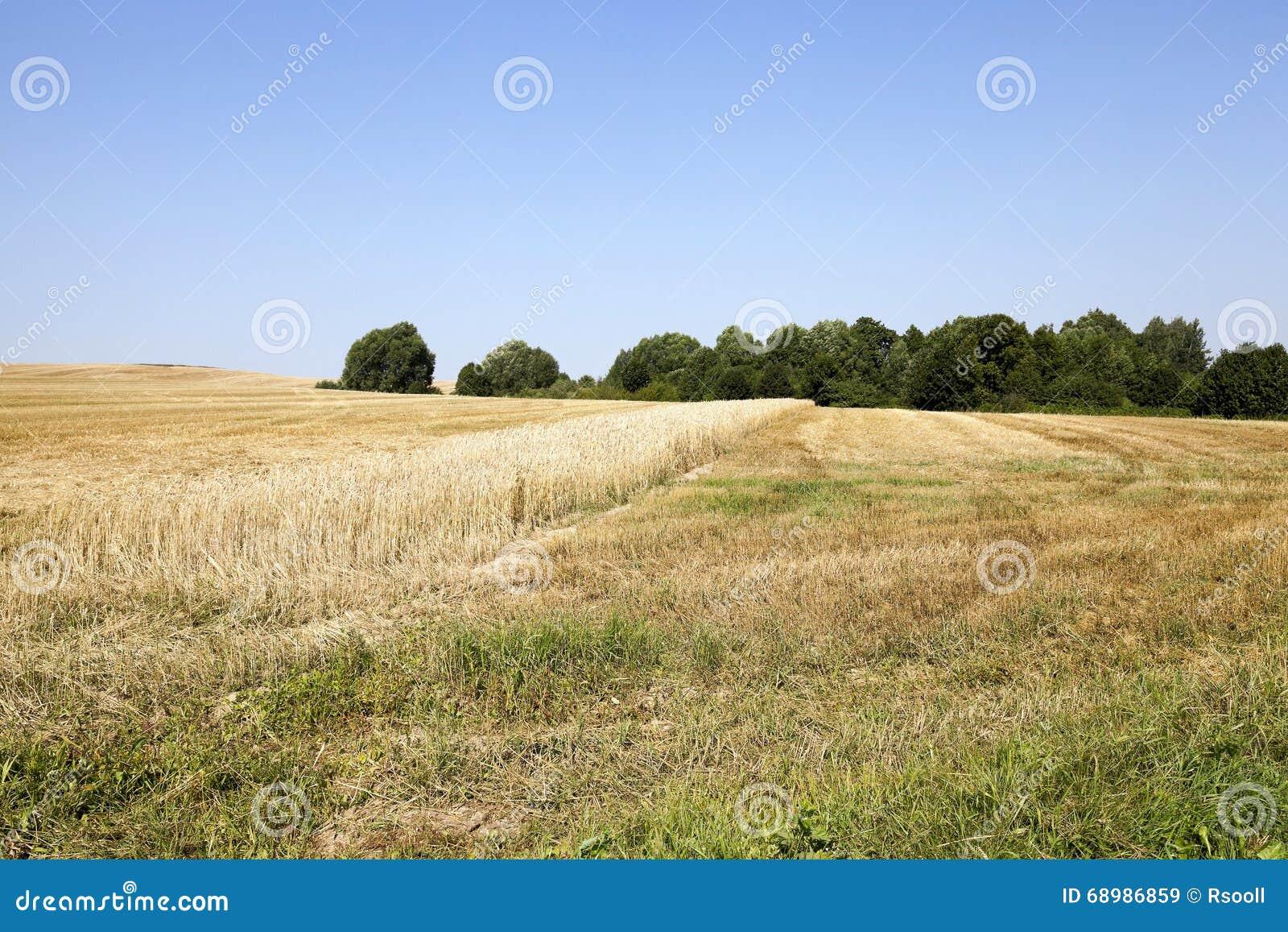 Banda con trigo