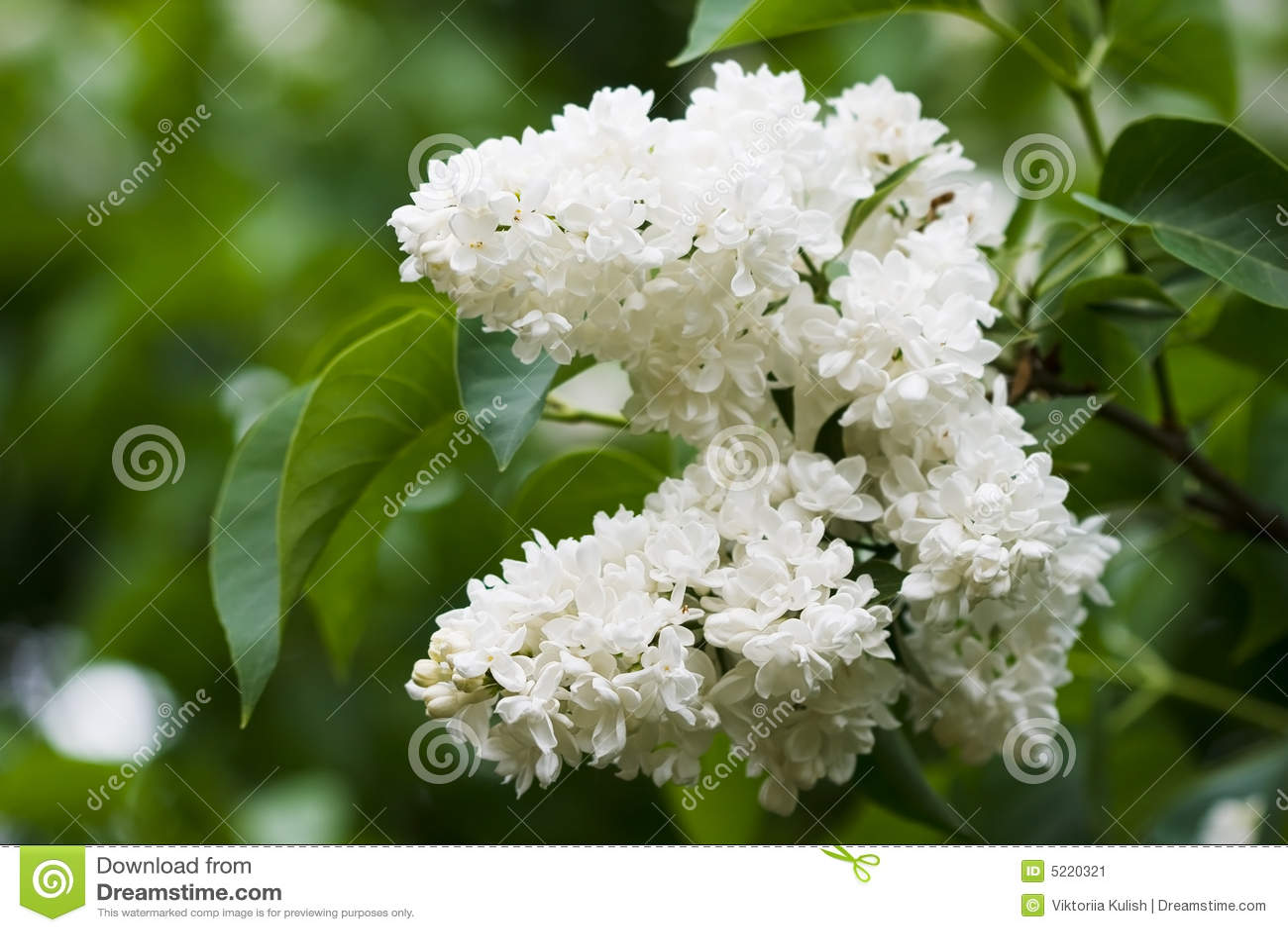 Banda kwiat liliowego white