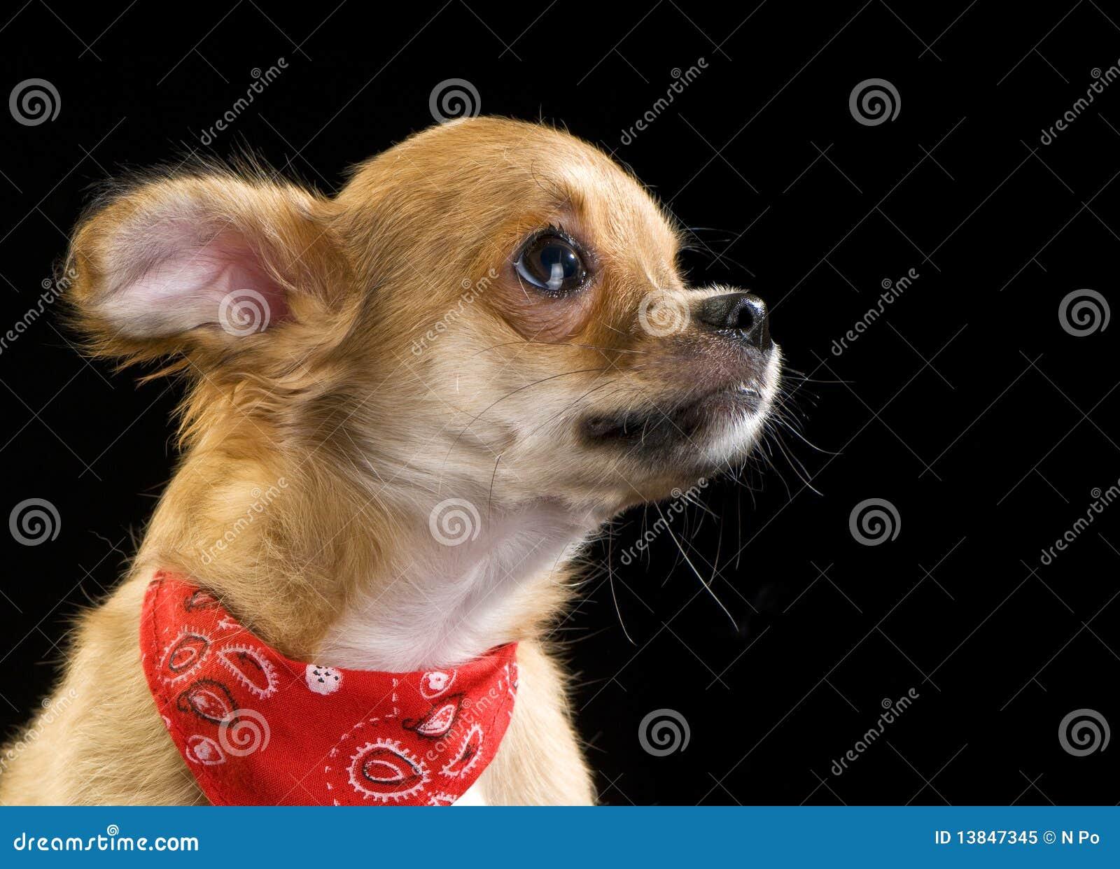 Bandan chihuahua śliczna portreta szczeniaka czerwień