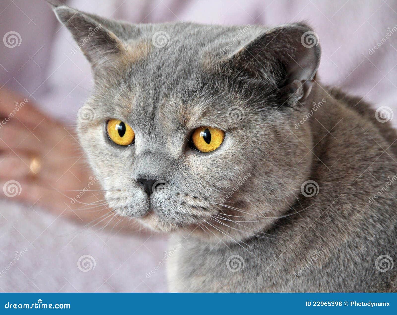 Bande de chat de luxe d or