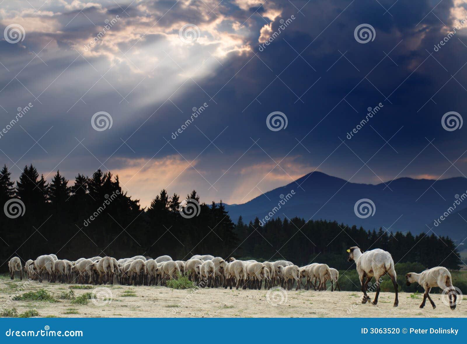 Bande de moutons