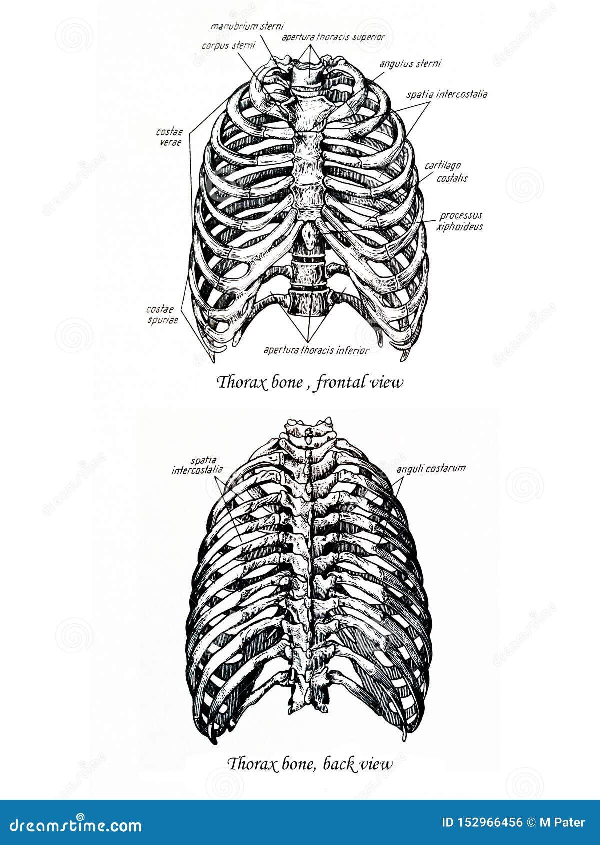 Bandeau de dessin d os de thorax et vue arrière