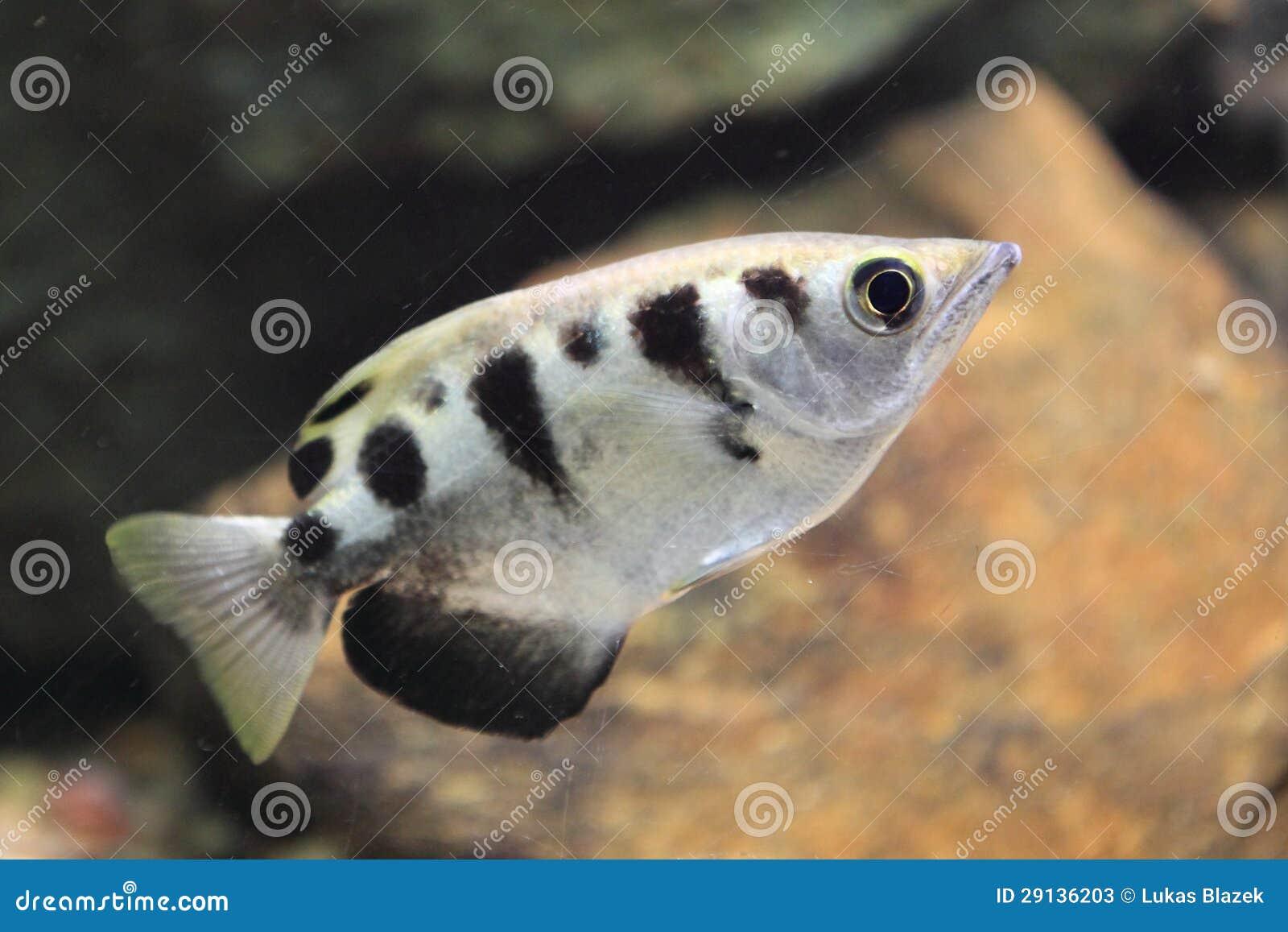 Banded Archerfish Stock Photos - Image: 29136203