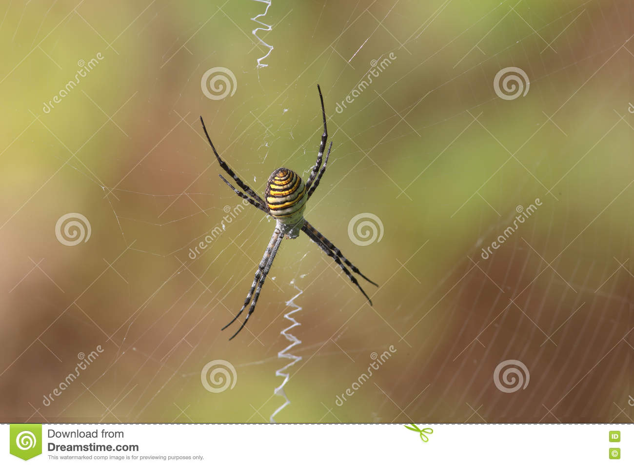 Banded Garden Spider (Argiope Trifasciata) Sits In The Center Of The ...