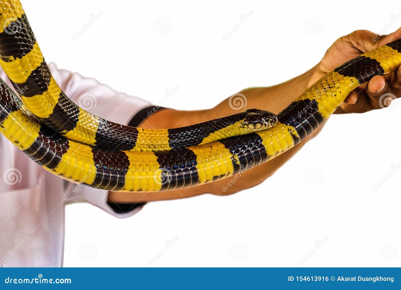 Banded Krait snake isolated