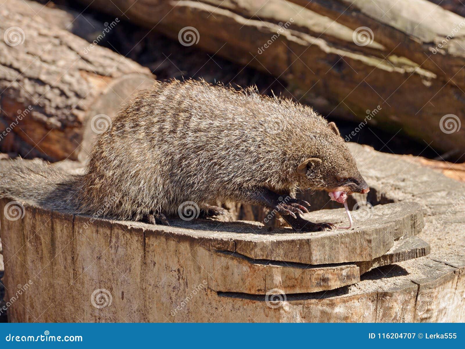 Banded Mongoose Mungos Mungo Eats White Mouse Stock Image Of Sturdy
