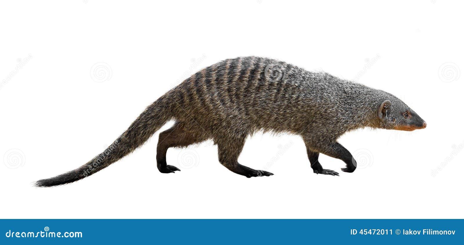 Banded mongoose (Mungos mungo). Isolated over white background.