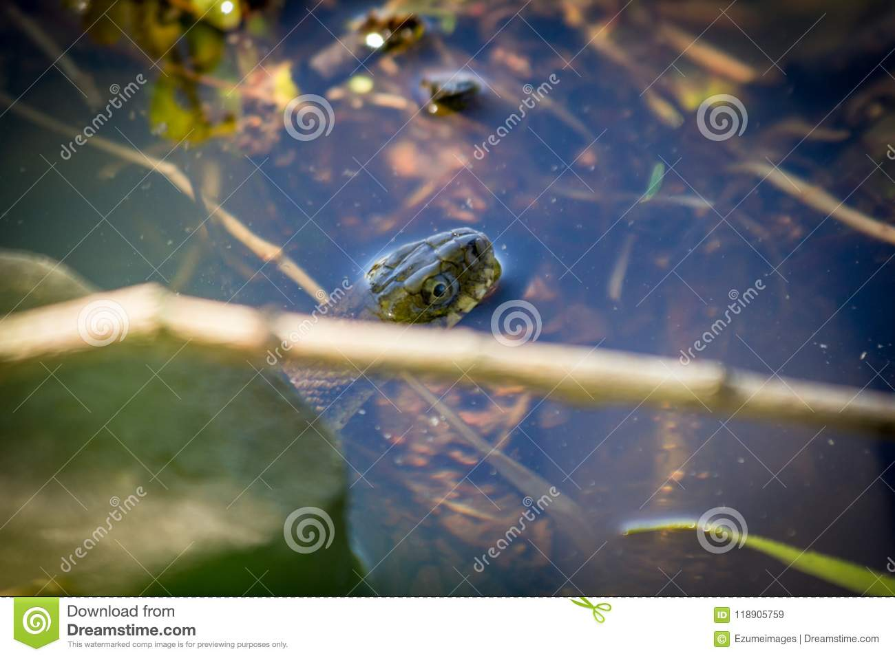 Banded Northern Water Snake