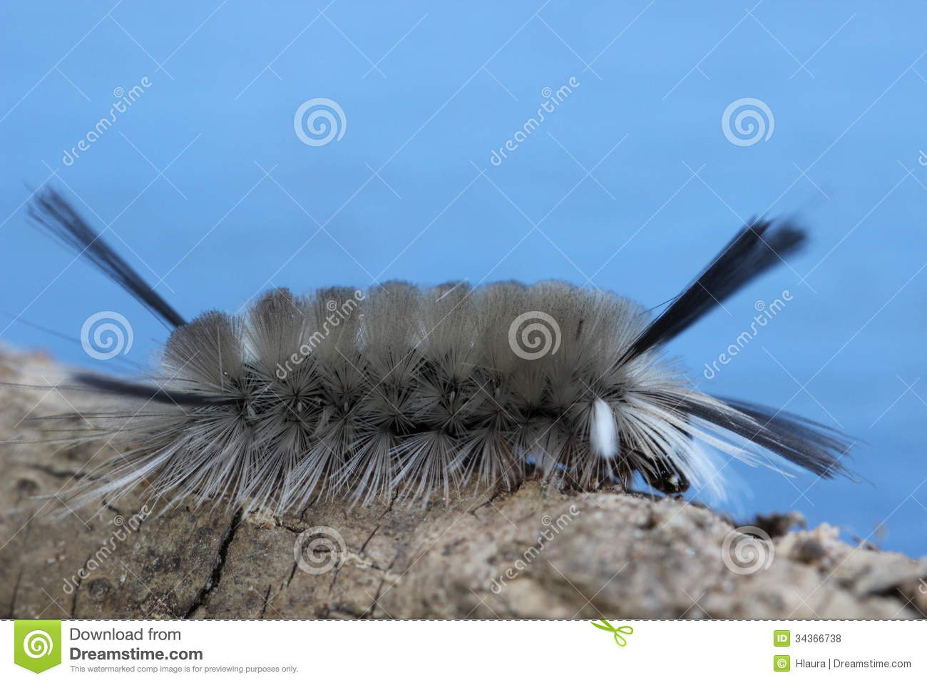 Gray Caterpillars That Are Big: Banded Tussock Moth Caterpillar Royalty Free Stock Photos
