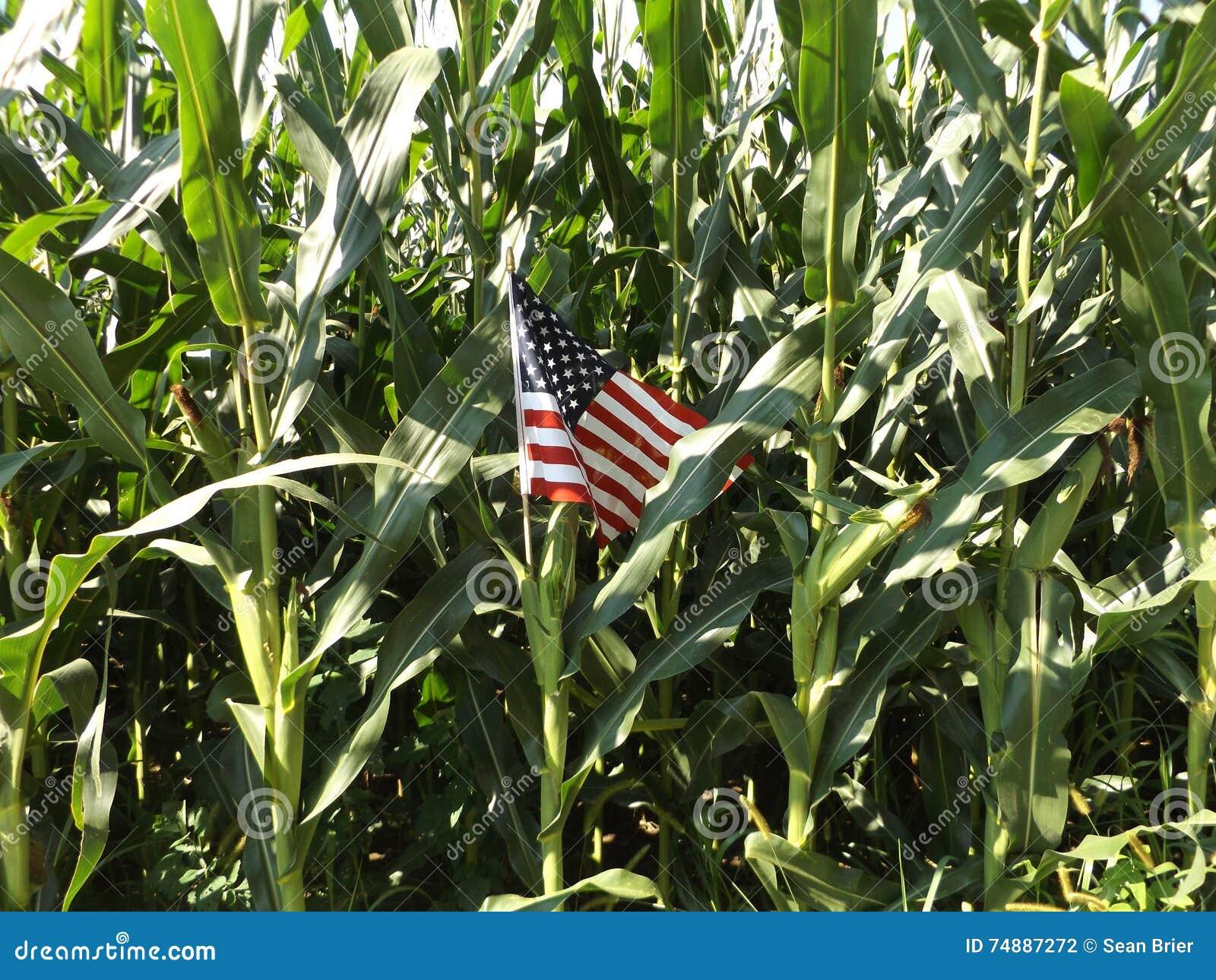 Bandeira americana na haste do milho