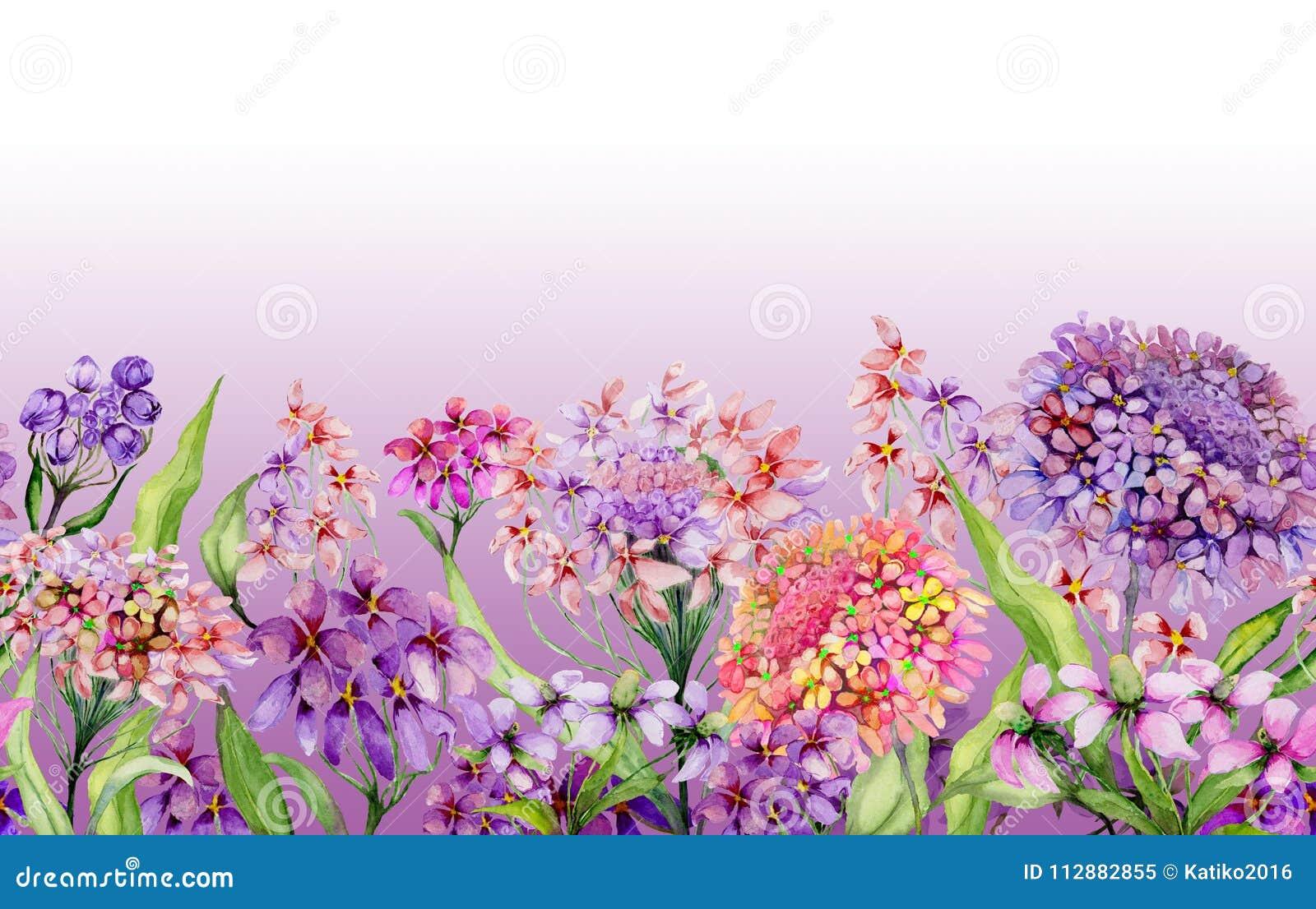 Bandeira larga do verão colorido O iberis vívido bonito floresce com as folhas verdes no fundo cor-de-rosa Molde horizontal