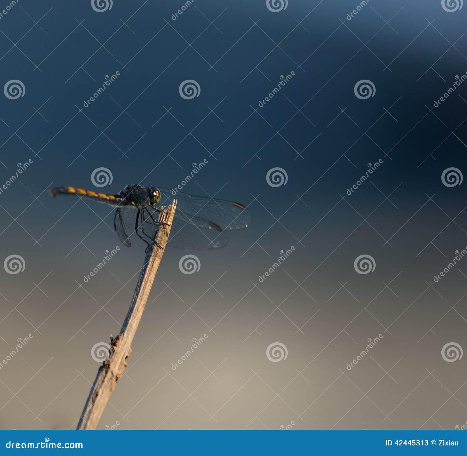 Banderín del calicó