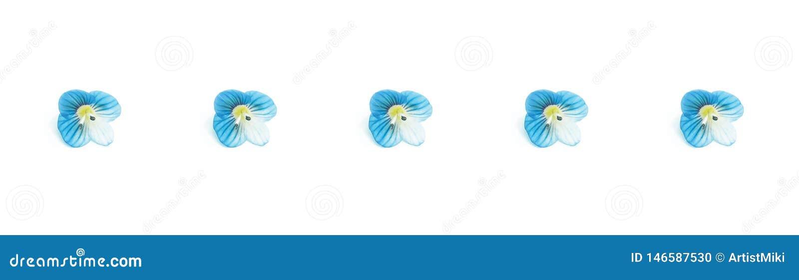 Bandera azul de las flores, flores azules aisladas en el fondo blanco Visi?n superior, endecha plana Modelo floral