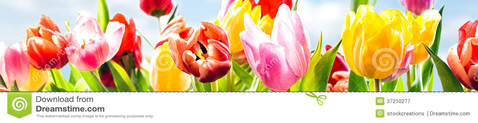 Bandera colorida de la primavera de tulipanes frescos