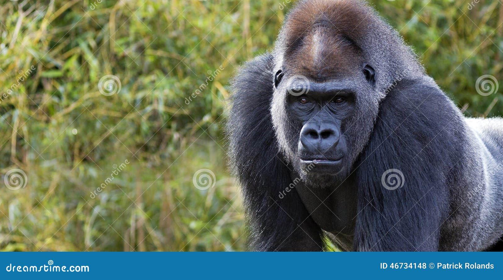 Bandera del gorila