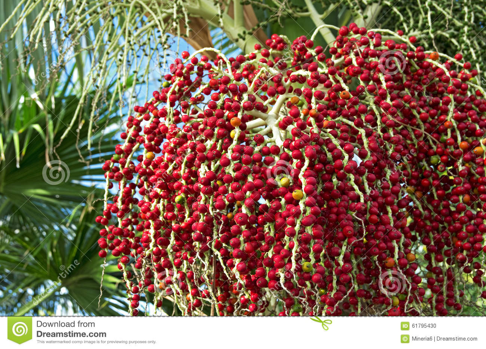 bangalow palm seeds stock photo image 61795430
