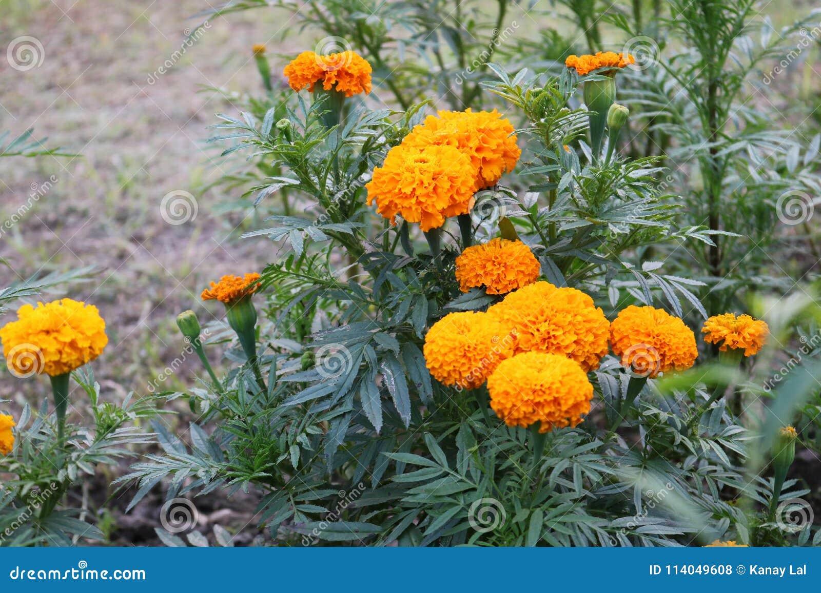 Bangladeshi Beautiful Yellow Big Marigold Flowers In Garden