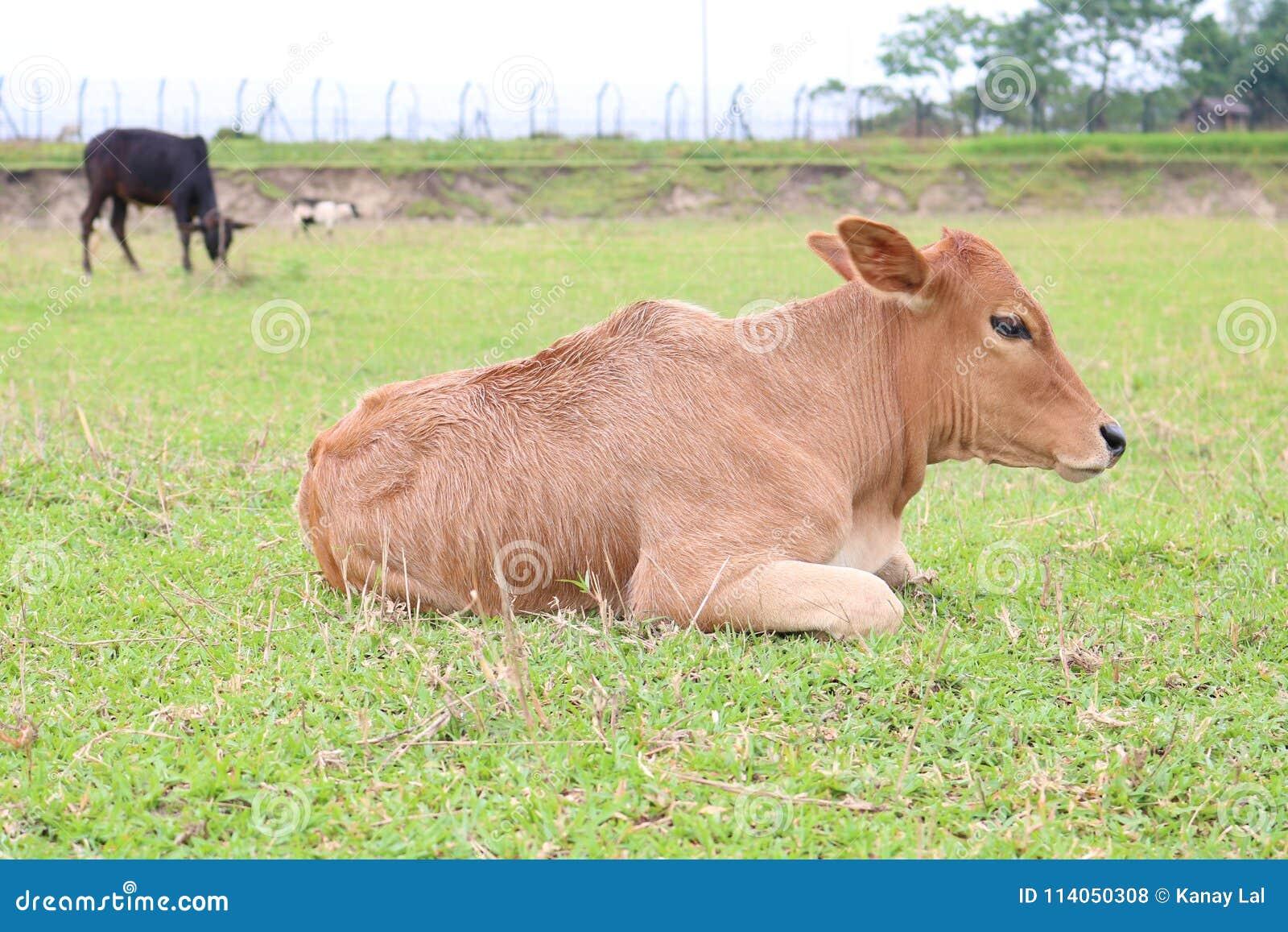 Bangladeska Piękna krowa Cieli się lying on the beach na zielonej trawie