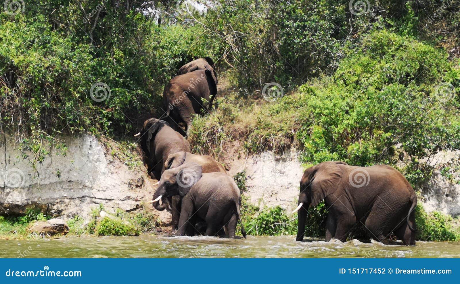 Banhando-se os elefantes reunem no movimento