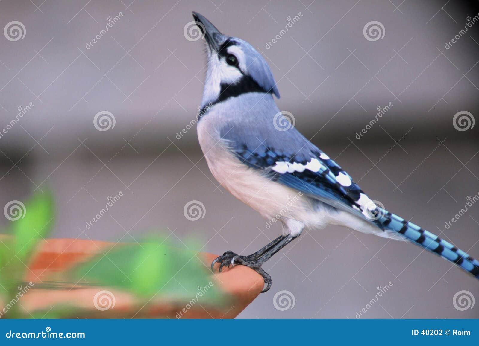 Banho azul do pássaro