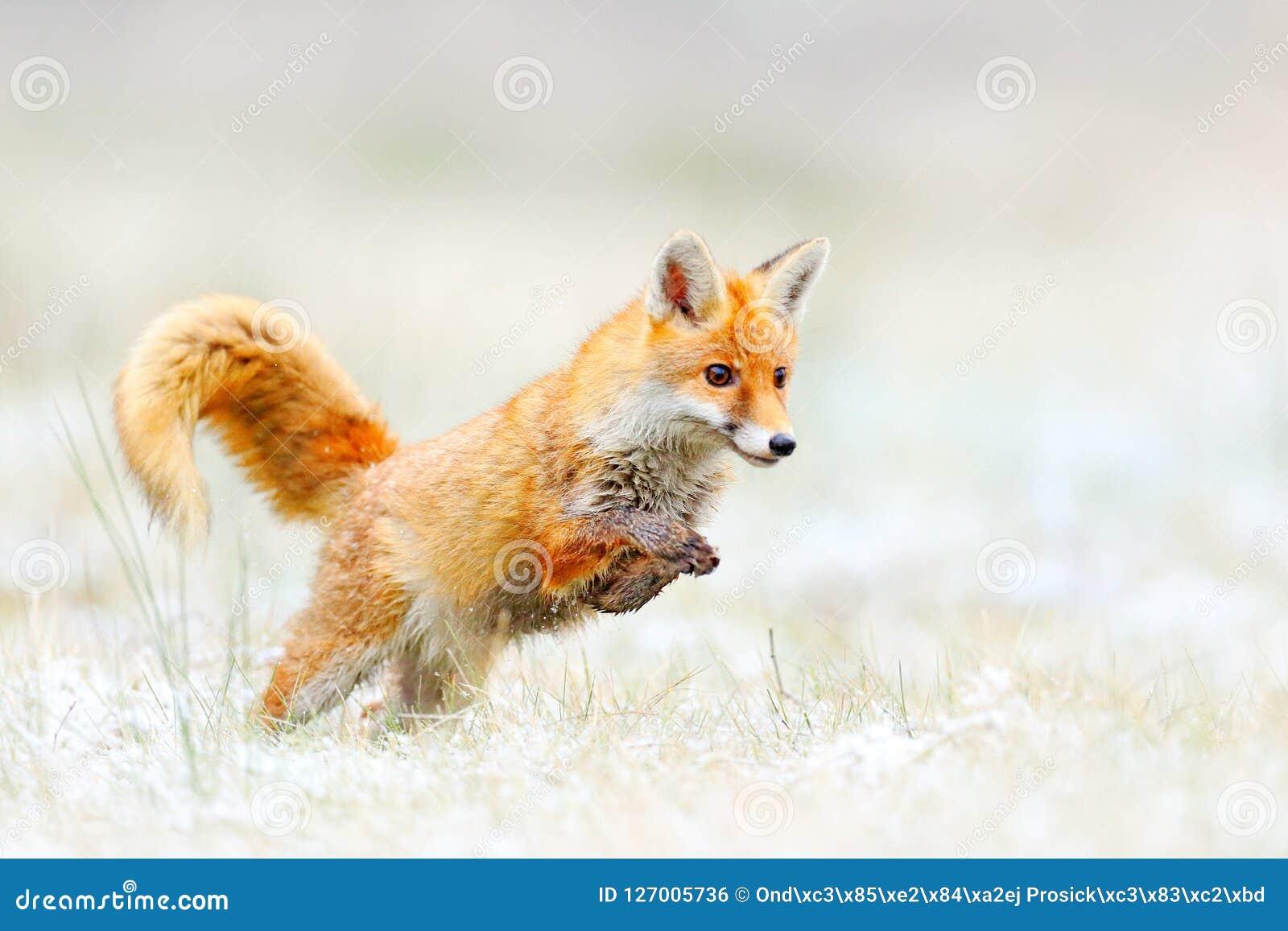 Banhoppning för röd räv, Vulpesvulpes, djurlivplats från Europa Orange djur jakt för pälslag i naturlivsmiljön Rävhoppet på