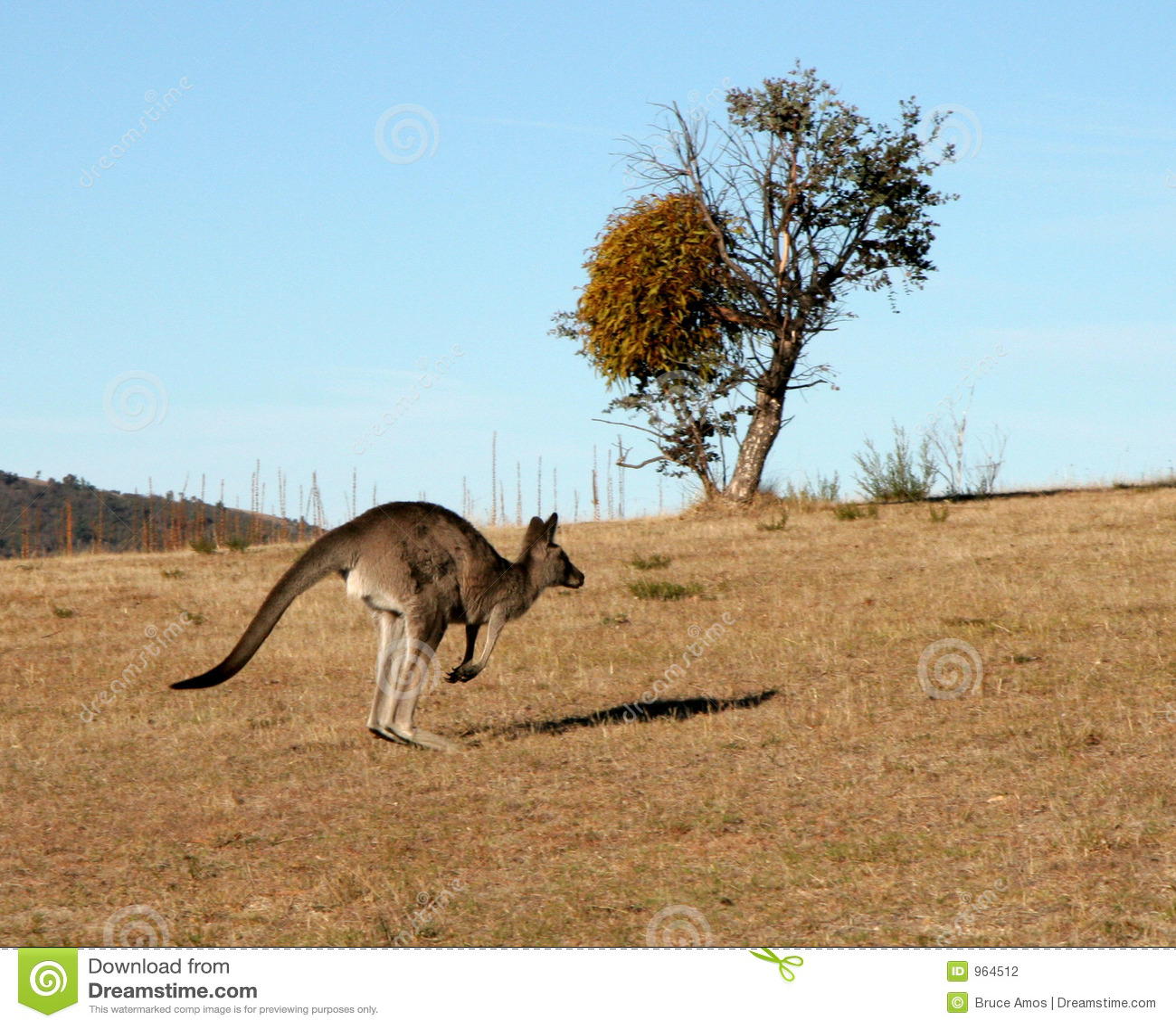 Banhoppningkänguru