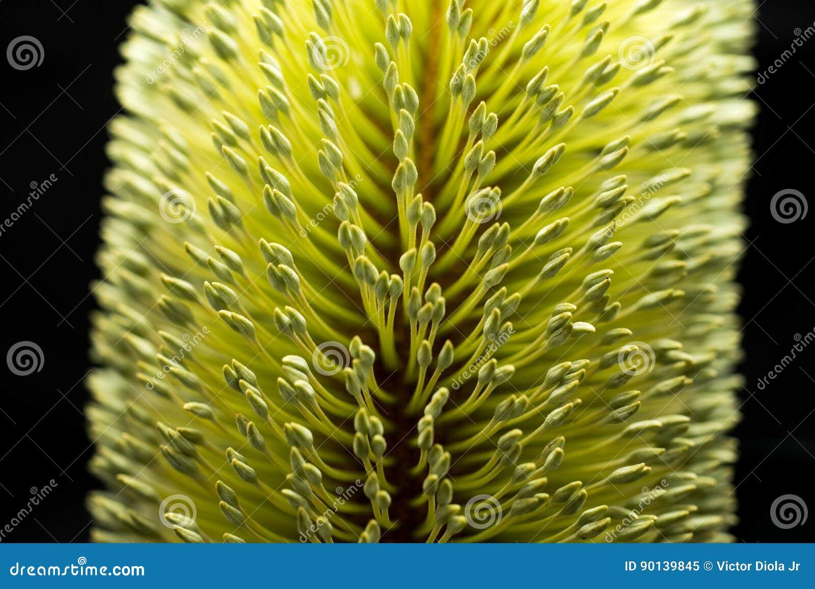 Banksia-Blumen-makro schwarzer Hintergrund