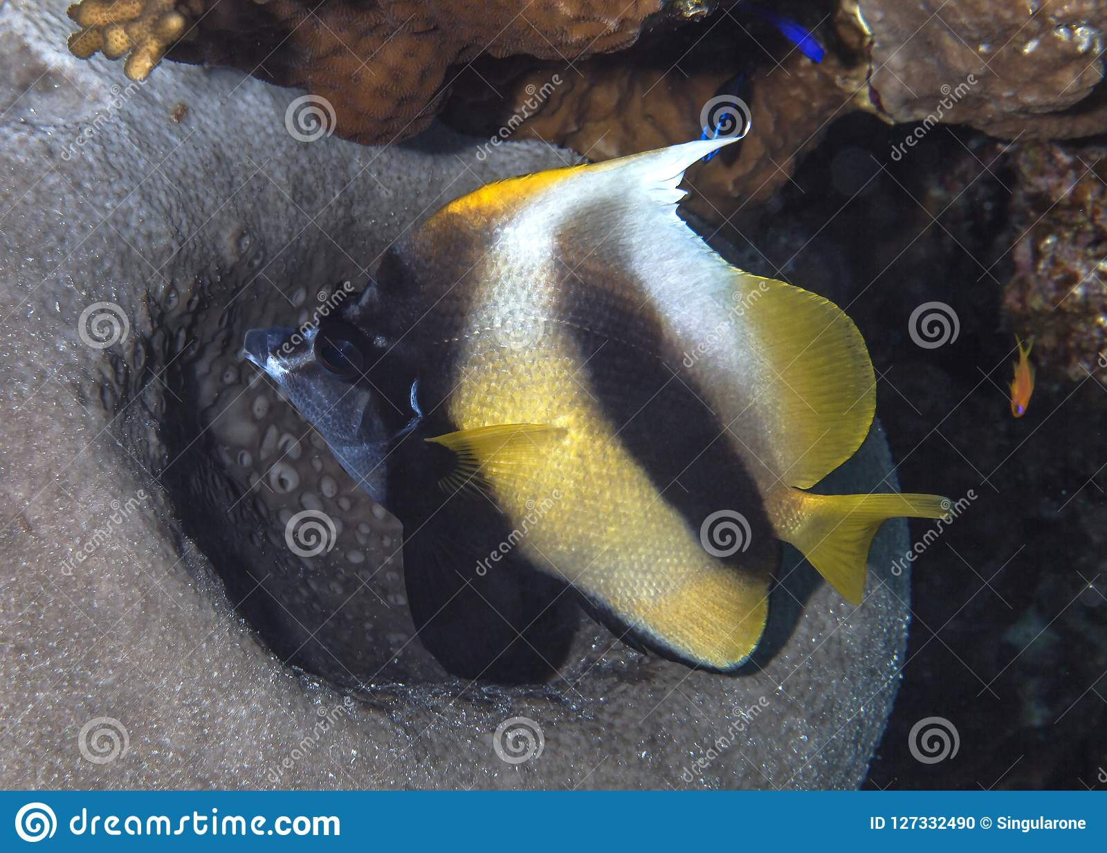 Bannerfish With Coral Reef Background Stock Photo - Image of