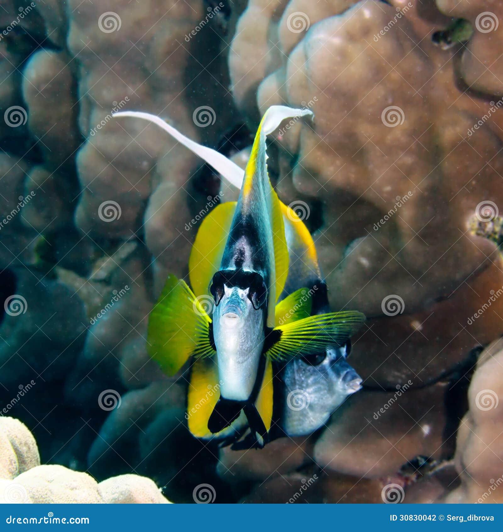 Bannerfish del Mar Rosso