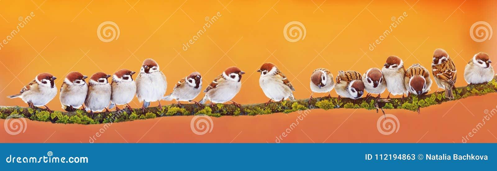 Bannière panoramique de beaucoup de petits moineaux drôles d oiseaux sur un Br