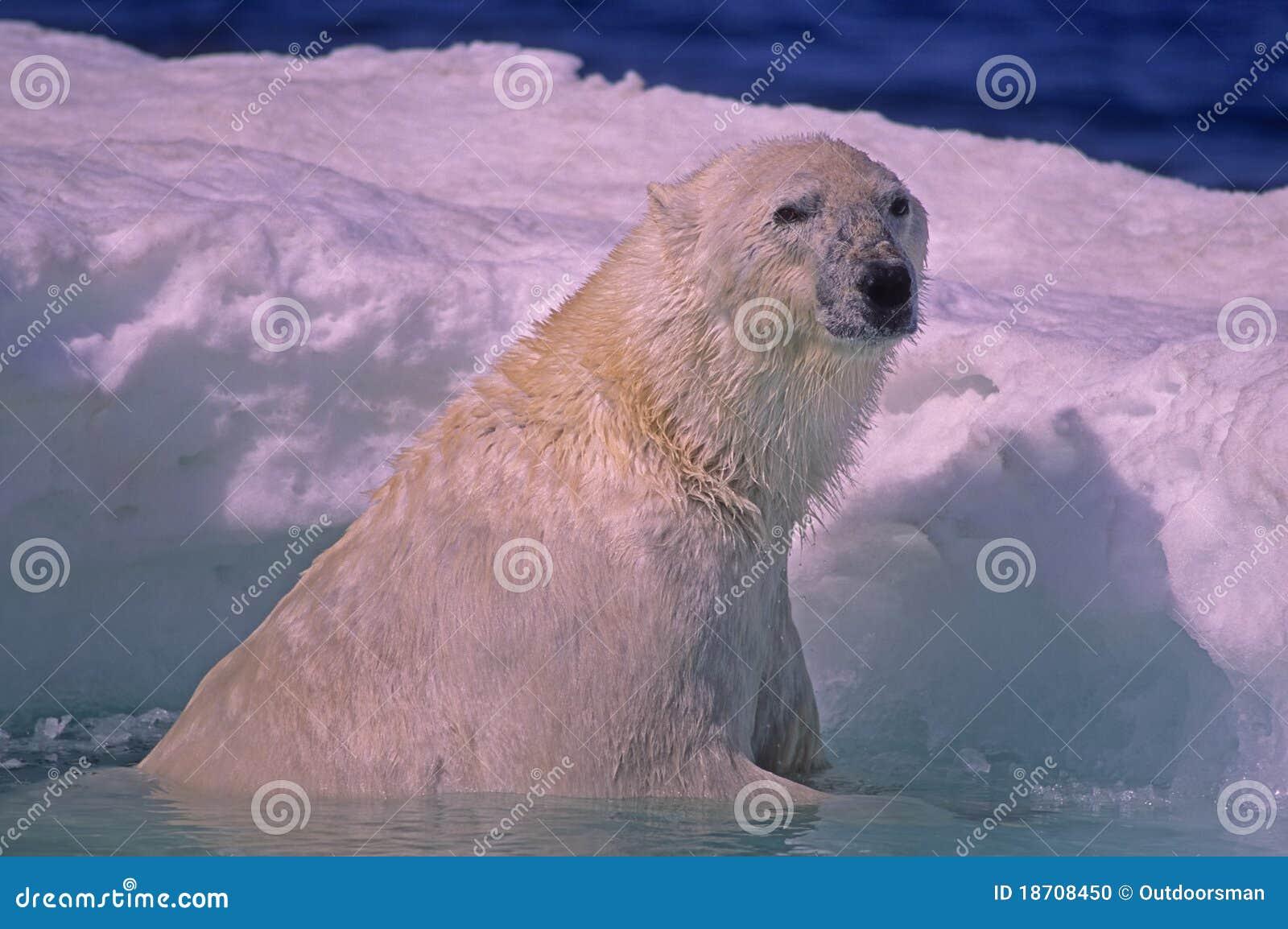 Banquise d ours blanc au printemps